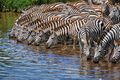Thirsty zebras hit the river