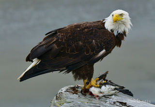 Eagle with duck. Bald eagle does dinner,