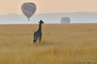 baby giraffe, giraffe, pomp pomp boy, watching the balloons float by