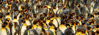 King penguins, penguin convention