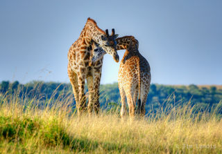 Caress, embrace, giraffes in love, hugs, love, necking