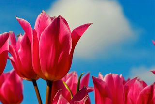 Holland, fresh tulips, tulips, pink,Spring