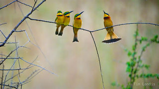 Masa Mara, bee eaters, four little bee eaters on same branch, kenya