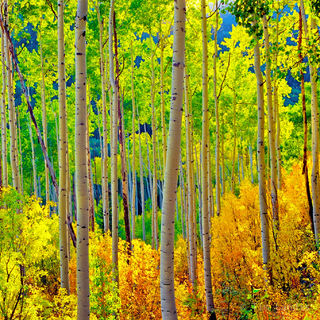 Aspen, aspens, autumn foliage, autumn leaves, colorado, golden leaves, luminescent, yellow, yellow leaves