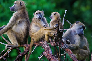 baboons, one happy family