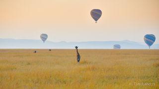 Masa Mara, baby giraffe with balloons, balloons
