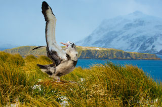 albatross, preflight check out, wandering albatross