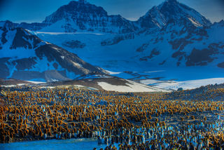 Baby King penguins., breeding grounds of S. Georgia Islands, brown woolies