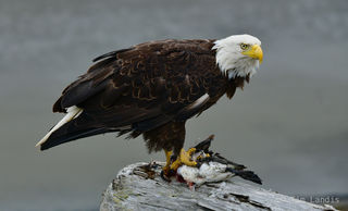 Bald Eagle with Duck, Bald eagle, Eagle with Kill