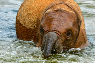 baby elephant bathing