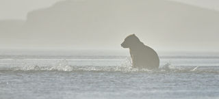 Alaska, fishing bear, grizzly in the fog, surrounded by salmon
