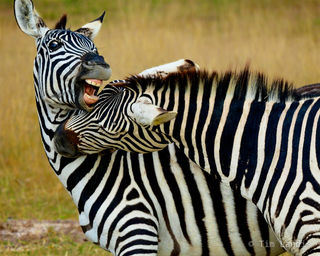 Zebras fighting, teeth, zebras biting, zebras playing
