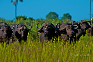 Botswanna, buffalo, defense, duba Plains, horns