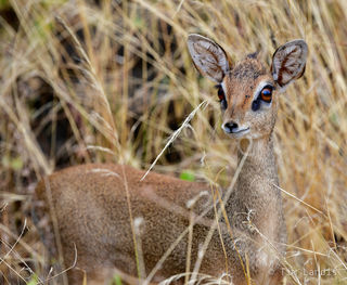 Dik-dik, second smallest member of the deer family