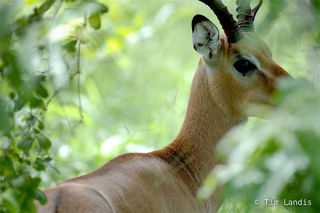 Impala steps into the forest