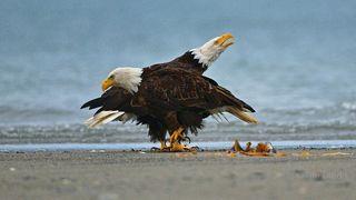Alaska, Bald Eagle couple, eagles walking on the beach