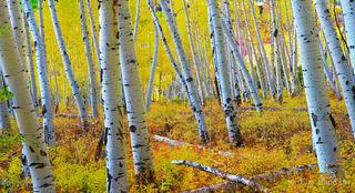 aspen grove, autumn, ferns turned copper, golden grove, reddish floor of grove
