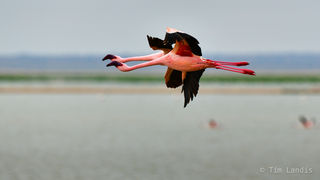 flamingos flying, two flamingos flying