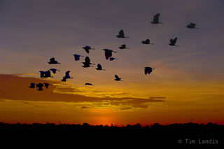 Egrets flying home