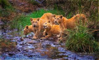 Four cubs playing tug of war