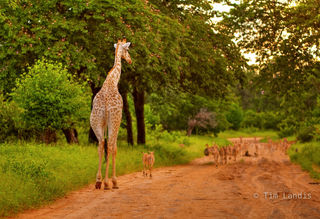 giraffe, giraffe with babies,