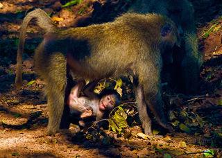 Falling Baby Baboon
