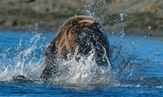 Fattening up for the winter, grizzly fishing, grizzly pouncing, grizzly splashing, salmon, the salmon slayer