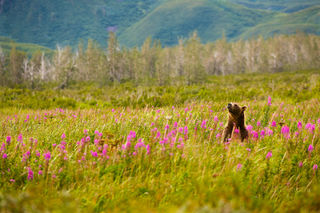 Alaska, bear enjoying the fine day., bear in meadow, bear with flower, grizzly and fireweed, grizzly bear, grizzly with flowers