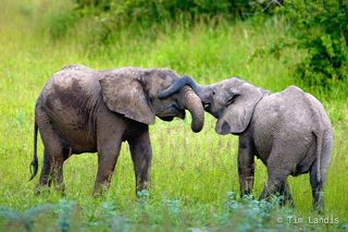 Botswana, baby elephants playing, blindfold, guess who?, trunks