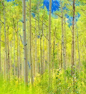 Aspen, aspen grove with early gold and green leaves