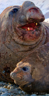 South Georgia Island, Southern elephant seal pair, affection, aftermath of a big fight, pride, submission, true love
