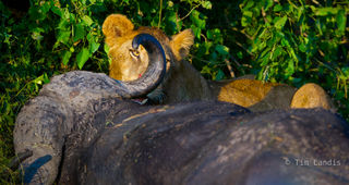 Botswanna, Okavangi delta, kill, lions, lions feeding on buffalo, the eyes have it.