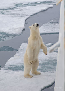 Standing polar bear on ice