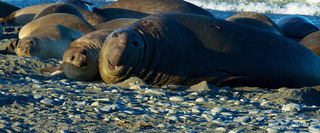 bonds, family, love, pride of parents, seal pups, southern elephant seal with pup