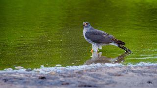 Botswanna, Kestril, bird of prey, chobe