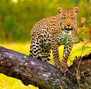South Africa, leopard on a log, leopards