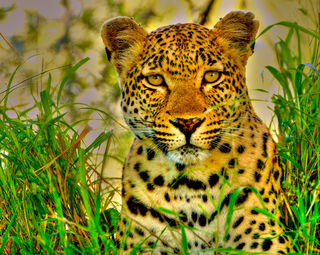 South Africa, leopard, leopard portrait,