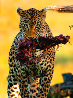 Leopard with kill, South Africa, eyes, feeding, impala, kill, leopards