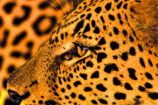 leopards eye