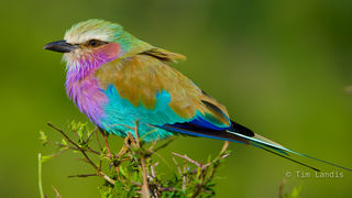 Africa, Botswanna, exotic birds, lilac breasted roller, technicolor bird