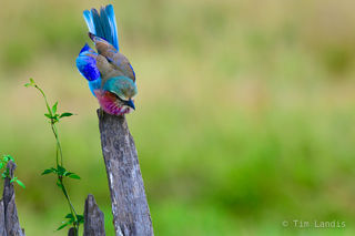 Lilac breasted roller takes a bow