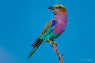 Lilac Breasted Roller-0288