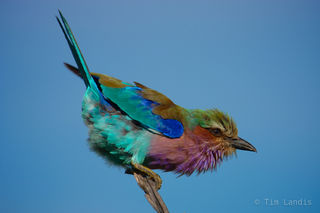 side view of lilac breasted roller