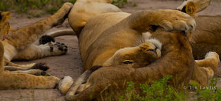 Mom protects, affection, lion family, nap time