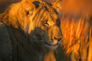 Botswana, early morning  lion portrait, eyes, lion