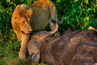 duba Plains, lion and buffalo, lion with kill