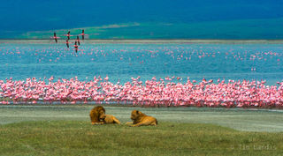 Ngorongoro, flamingos in flight, lesser flamingos, lion, lioness, lions and flamingos, lions mating, tanzania