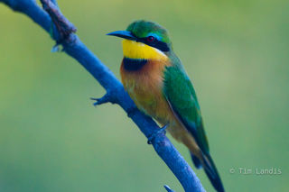 eye, eyes, green, jewel of life, little bee eater