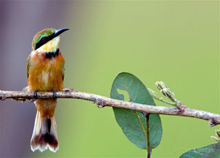 Zambia, african birds, bee-eater, jewels of life, little bee -eater