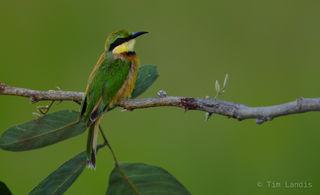 Little bee-eater looking over his shoulder